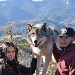 Wolf p4